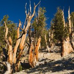 Bosque de pinos bristlecone