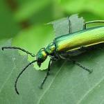 La mosca española, consumida a lo largo de toda la historia