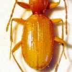 Un escarabajo en peligro de extinción por culpa de su nombre